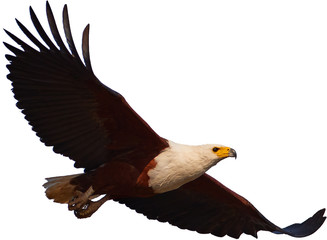 Isolated on white background, African fish eagle, Haliaeetus vocifer flying with outstretched wings. African raptor, wild animal.  Zambezi river flood plains, Mana Pools, Zimbabwe.