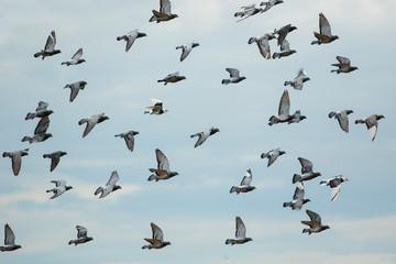 flock of speed racing pigeon bird flying