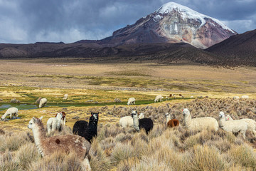 Fotorolgordijn Lama Lamas and alpacas at Sajama National Park in Bolivia