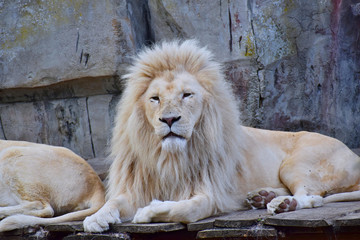 The lion albino gracefully lies on an elevated flooring of boards ...