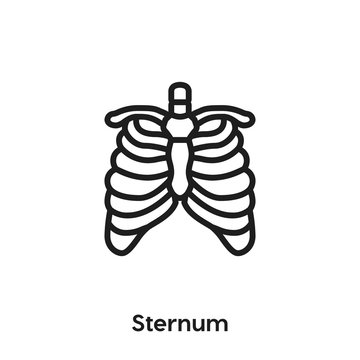 Sternum icon vector. Sternum icon vector symbol illustration. Modern simple vector icon for your design. Sternum icon vector