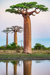 Photo sur Plexiglas Baobab Beautiful Baobab trees at sunset at the avenue of the baobabs in Madagascar