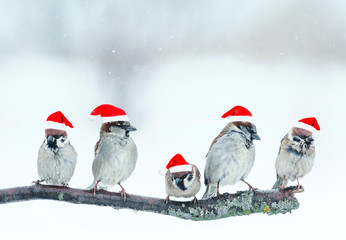 Wall Mural - festive natural background with five small funny birds in elegant red Santa hats in the Christmas garden