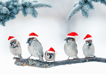 Wall Mural - festive natural background with five small funny birds in elegant red Santa hats in the Christmas garden under the branches of a fir tree