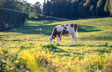 Fotorollo Gelb Organic farming in Germany: Cow is grazing on the meadow, warm autumn colors, Bavaria, Germany