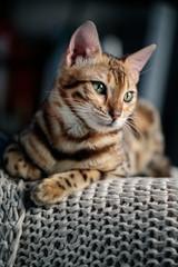 Young Bengal Cat Studio Portrait