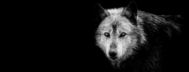Canvas Prints Wolf Black wolf with a black background