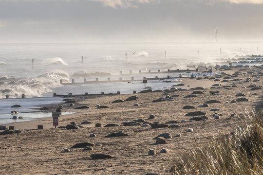 Grey seal colony
