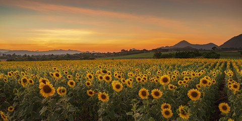Blooming sunflower plants in the countryside at sunset