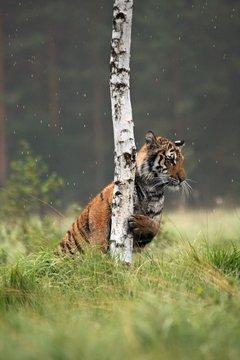 The Siberian tiger (Panthera tigris Tigris), or  Amur tiger (Panthera tigris altaica) in the grassland.