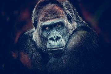 gorilla dangerous look dark background