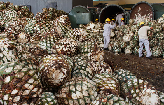 Harvesting agave for Tequila production.  Agave piles in distillery waiting for processing, Tequila, Jalisco, Mexico