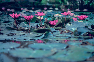 Red lotus water lilies in water surface and dark blue leaves toned, purity nature background, aquatic plant. Soft colors dramatic photo.