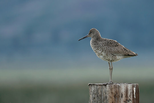 Willet standing on a post