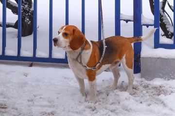 Landesgruppe Wesfalen-Lippe im Beagle Club Deutschland e.V.