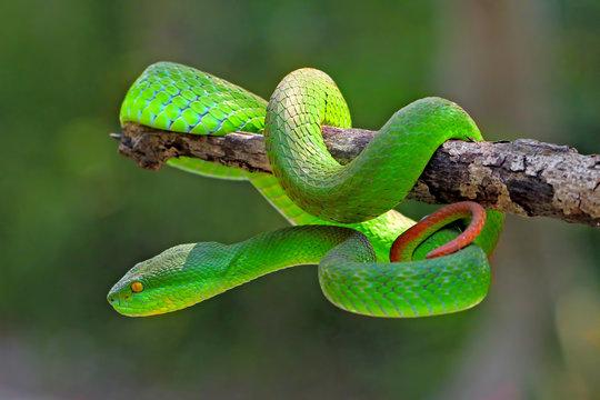 white lipped island pit viper snake, trimeresurus insularis, venomous snakes