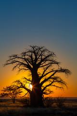 Fotorolgordijn Baobab Yellow sunrise behind baobab tree on Kukonje Island