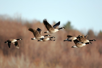 Zelfklevend Fotobehang Vogel Canada geese migrating in the Fall of the year