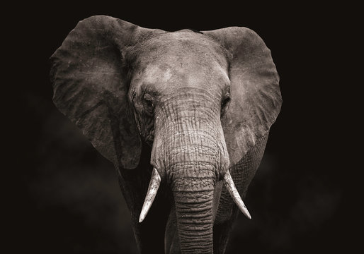 Close up of an elephant head