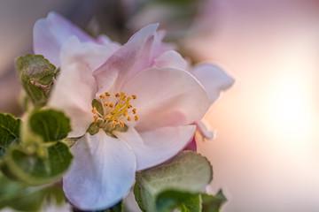 Obraz kwiat dzikiej róży - fototapety do salonu