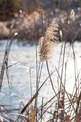 Outdoor autumn winter season reed,Phragmites communis (Cav.) Trin. ex Steud