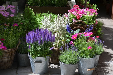 Fotobehang Lavendel Blue and pink decorative garden flowers in grey metallic pots displayed for sale at a street market, lavender, geraniums or pelargonium plants, cosmos and others