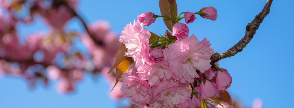 pink cherry blossom close up. spring has sprung. beautiful panoramic nature background