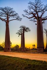 Fotorolgordijn Baobab Beautiful Baobab trees at sunset at the avenue of the baobabs in Madagascar