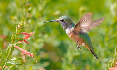 broad-tailed hummingbird feeding at a flower