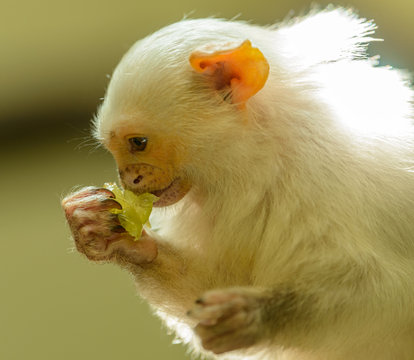 silvery marmoset monkey profile portrait eating a grape