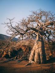 Beautiful tree Baobab near Epupa falls in North Namibia