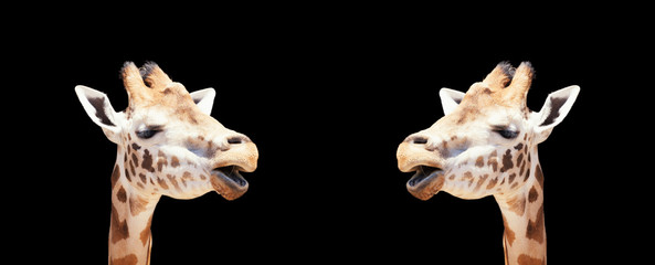 Printed roller blinds Giraffe Two giraffes chatting with a black background for copy space