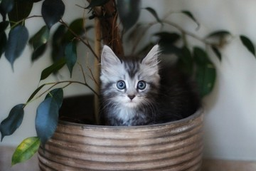 Maine coon kitten sitting in house plant