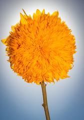 Bright yellow teddy bear sunflower, backlit against a blue sky