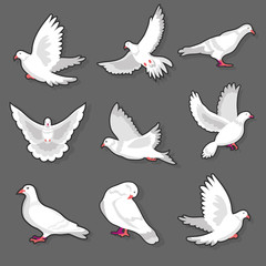 Pigeon or white dove bird in motion on grey background