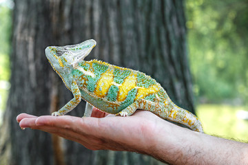 Chameleon sitting on a man's hand. Multicolour (green and yellow) chameleon reptile with bright vibrant skin. Close up.