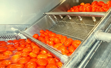 Red tomatoes fall into tanks filled with water to wash and come out clean for further processing.