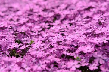 花のじゅうたん 芝桜