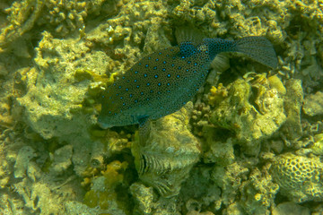 Yellow boxfish in Red Sea, Egypt. Beautiful fish with blue spots. | Close-up of a Ostracion cubicus close to a hard coral. When it is stressed or injured it releases the neurotoxin tetrodoxin.