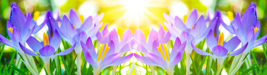 Photo sur cadre textile Crocus Spring awakening - Blossoming pink crocuses illuminated from the morning sun - Spring background panorama banner long with space for text