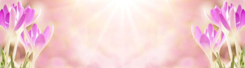 Poster Krokussen Spring awakening - Blossoming pink crocuses illuminated from the morning sun - Spring background panorama banner long with space for text