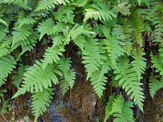 Tuepfelfarn, Polypodium vulgare