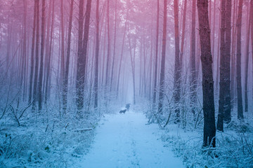 Spoed Fotobehang Blauw Snowstorm in a pine forest in the winter morning. A man with a dog walks along a path in the winter forest in a blizzard