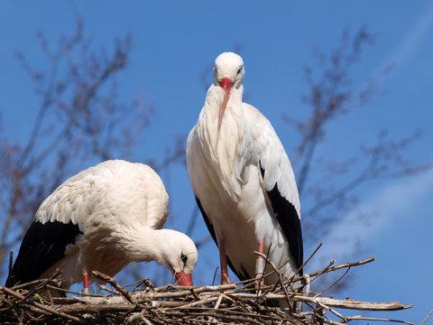 (Ciconia ciconia) Couple de cigognes blanches posées sur un nid