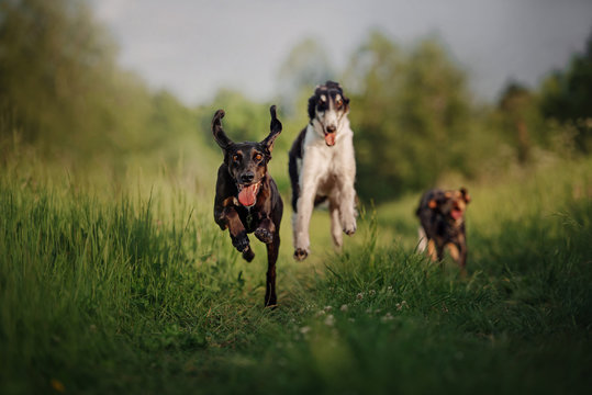 happy dogs running together outdoors in summer
