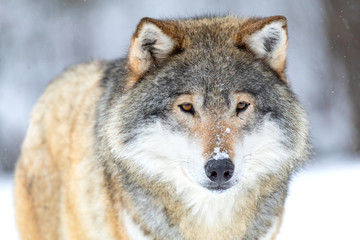 Canvas Prints Wolf Close-up portrait of a beautiful wolf in the cold winter