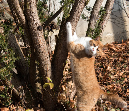 Katze rot weiß. Kater Jaime hat sich gerade die Krallen am Baum (Eibe) geschärft