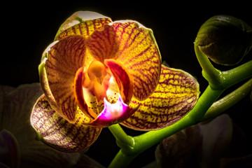 Foto auf Acrylglas Orchideen farbenfrohe Orchidee mit Rispe im Gegenlicht