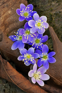 Close-up of a grouping of hepatica growing through leaf litter in a beech and maple forest, Michigan