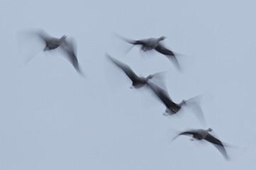 Blässgänse (Anser albifrons) Flugbild einer Gruppe mit Bewegungsunschärfe, Brandenburg, Deutschland